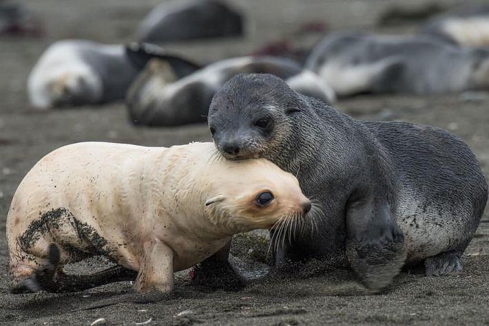 """""""Un bébé phoque à fourrure d'Antarctique blond ! Seulement 1 sur 1000 naissent blonds. J'ai cru ..."""