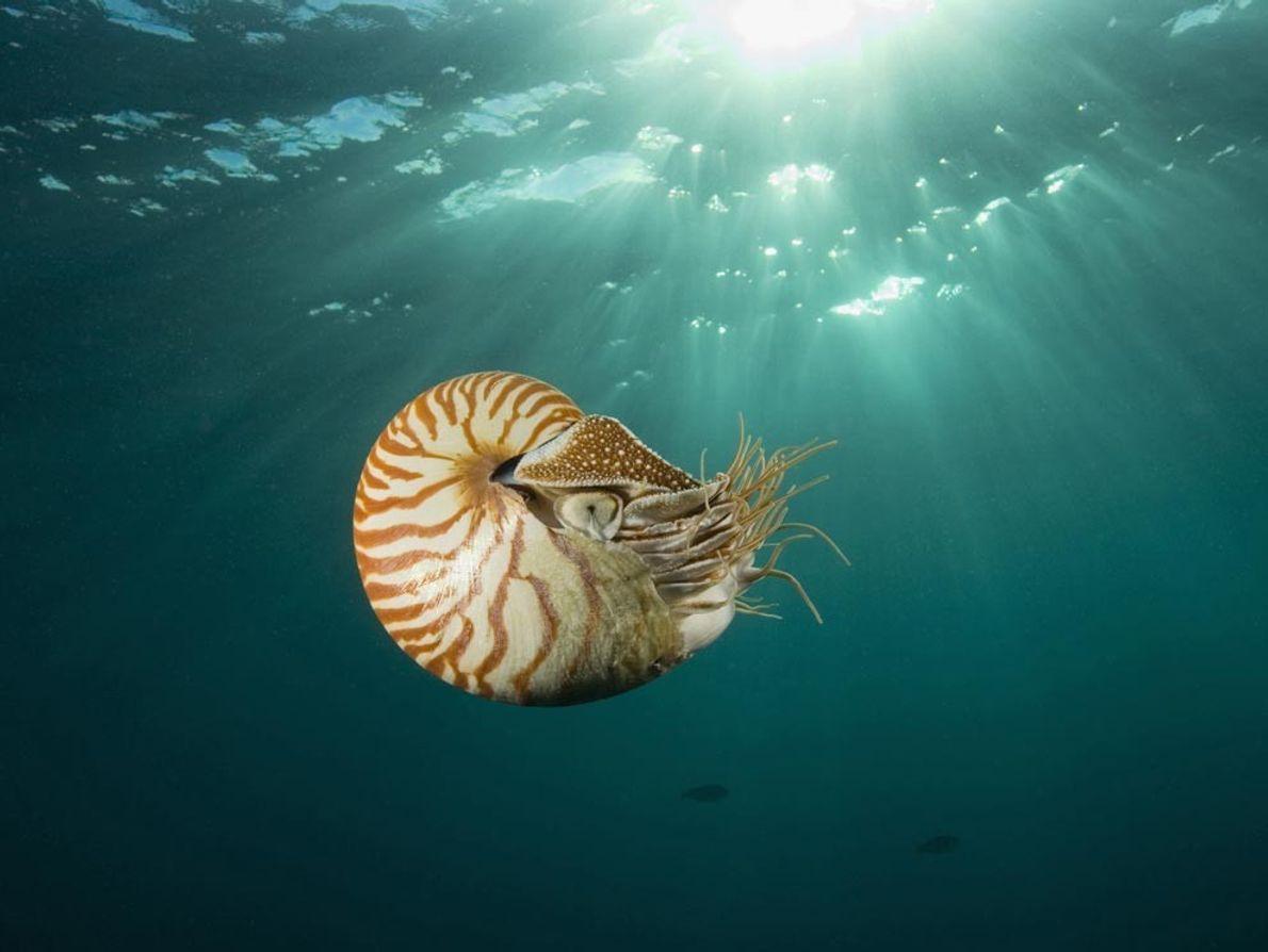 Les nautiles, comme celui-ci évoluant dans les eaux de Palau, en Micronésie, ont peu évolué au ...