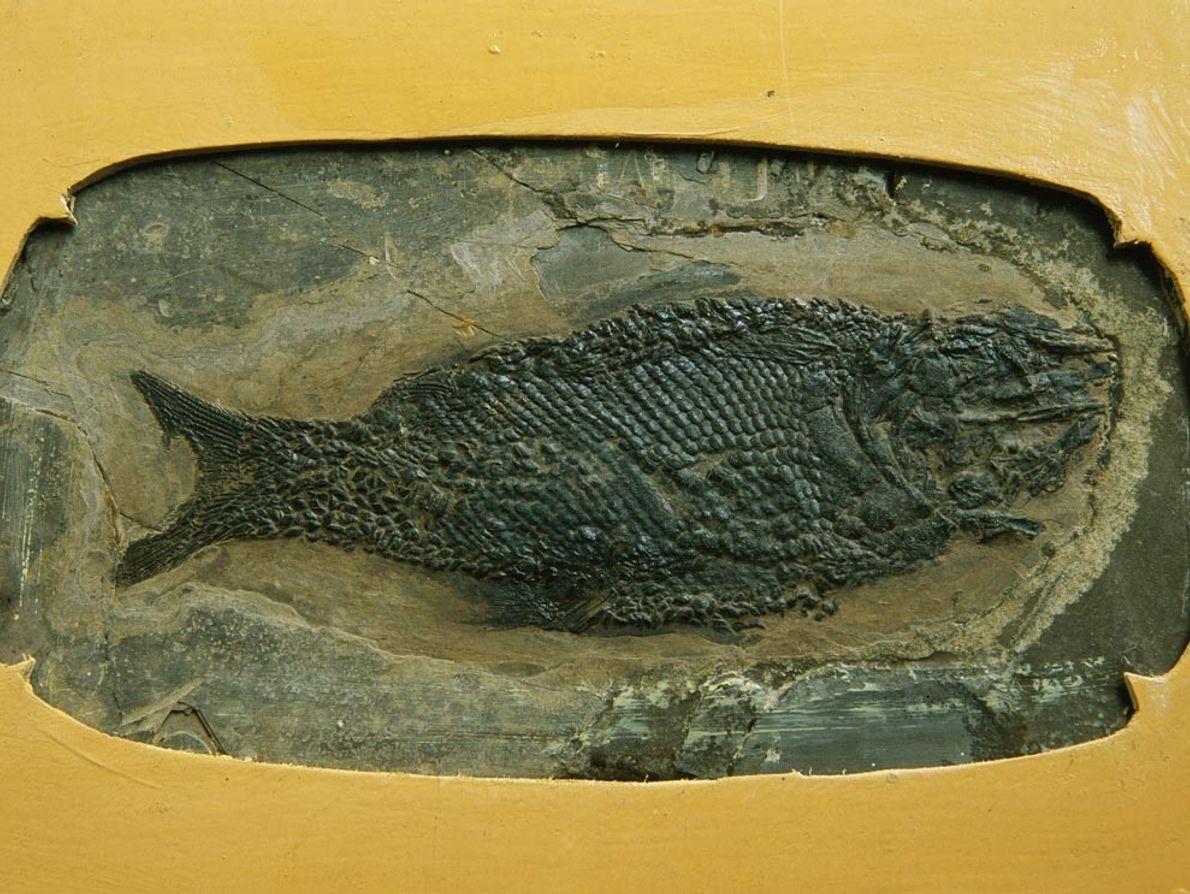 Ce poisson du Trias fait partie des milliers de fossiles découverts dans les montagnes et formations ...