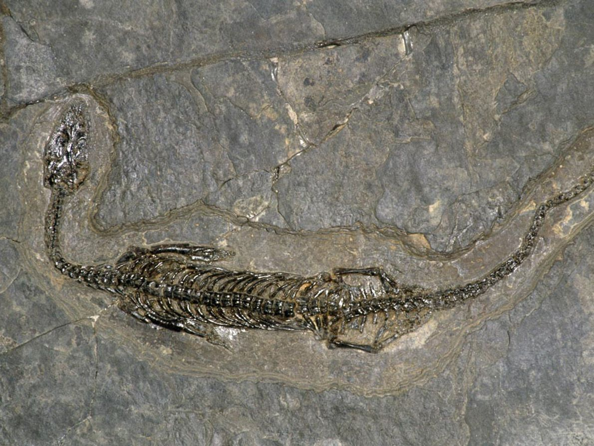 Ce reptile du Trias moyen découvert en Suisse mesure environ 23 cm de longueur. Baptisé Pachypleurosaurus ...