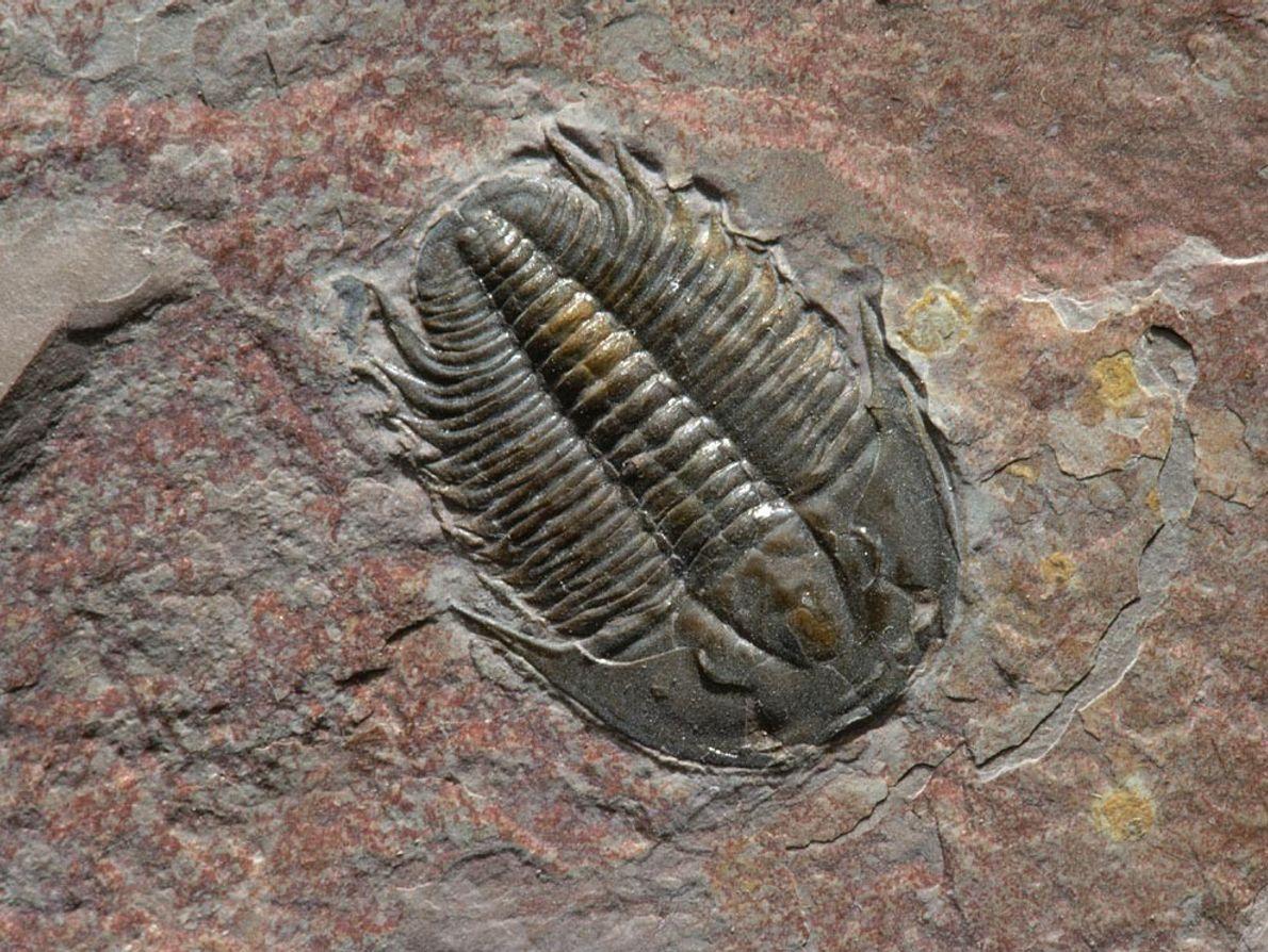 Les Trilobites, comme ce spécimen remarquablement préservé de l'Institut de recherche géologique des Black Hills dans ...