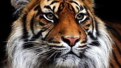 Le tigre de Sumatra pourrait bientôt disparaître
