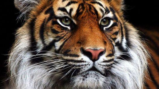 Voici Chandra, l'un des deux tigres de Sumatra du Zoo d'Edimbourg en Écosse.
