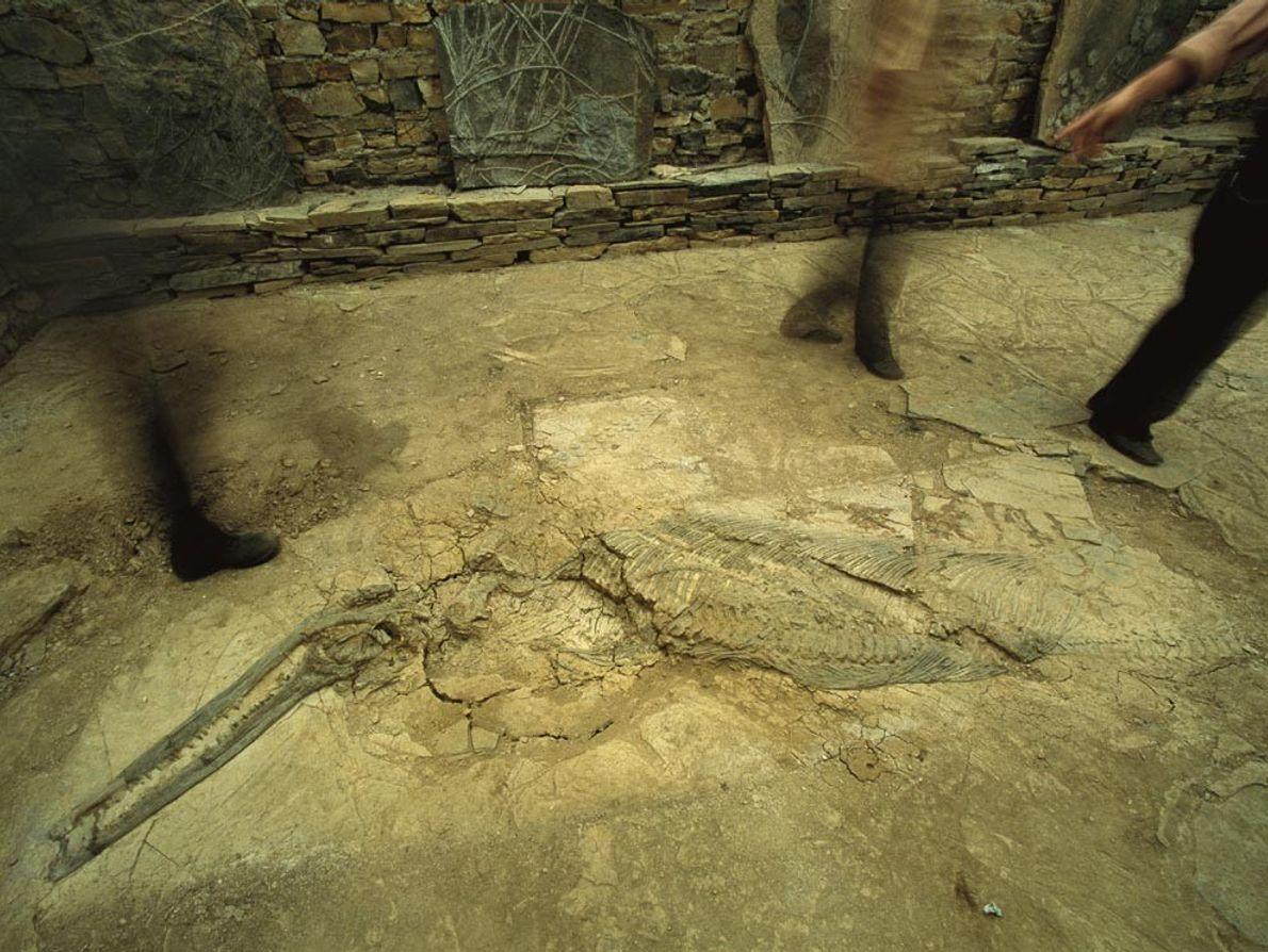 Les ichthyosaures, comme celui-ci mis au jour dans la province chinoise de Guizhou, ont évolué au ...