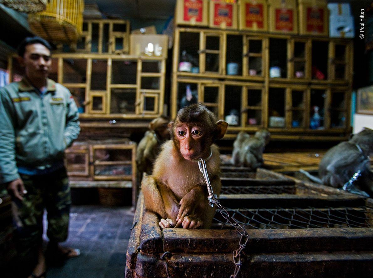 Paul Hilton a remporté le prix du récit photojournalistique animalier pour son travail documentant le commerce international ...