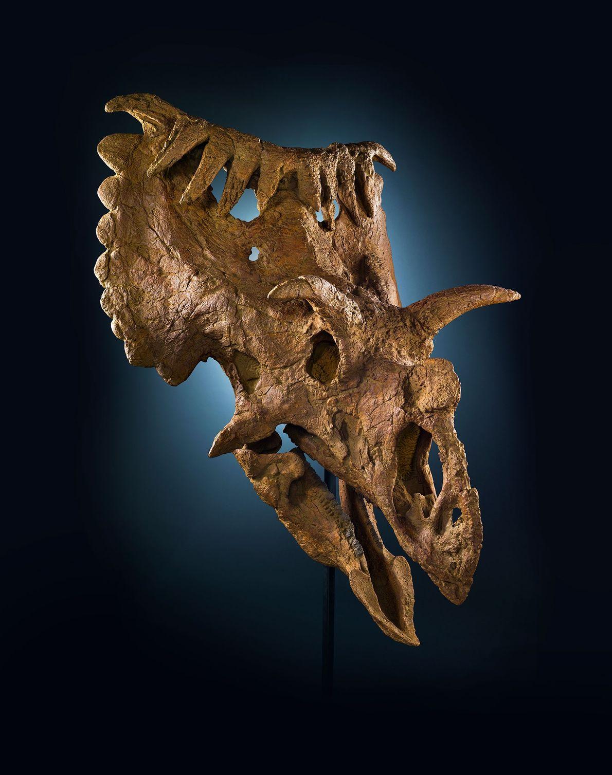 Ce crâne singulier provient d'un parent du Triceratops appelé Kosmoceratops richardsoni. Ce cératopsien de la taille ...