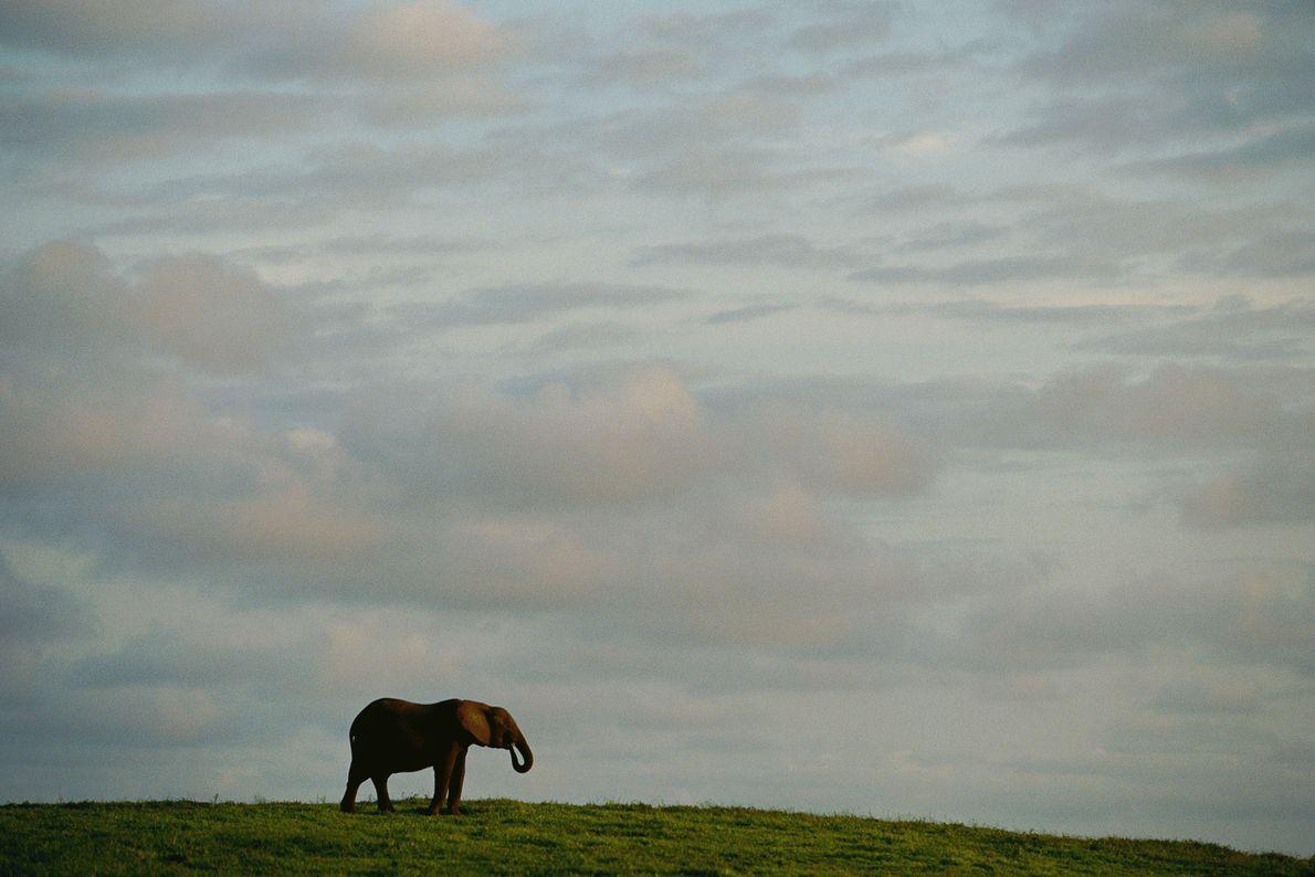 Un éléphant solitaire se découpe sur le ciel du Gabon.