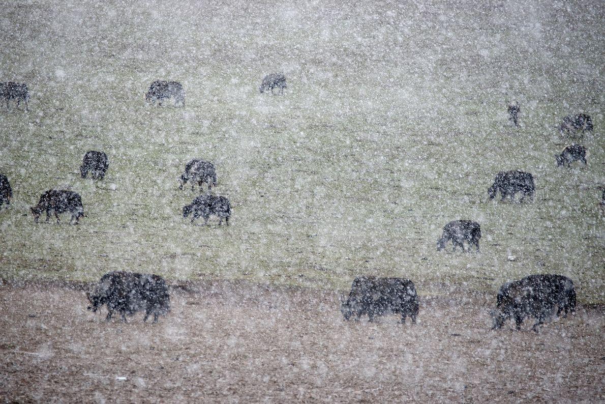 Des yaks paissent durant une tempête de neige, en Chine.