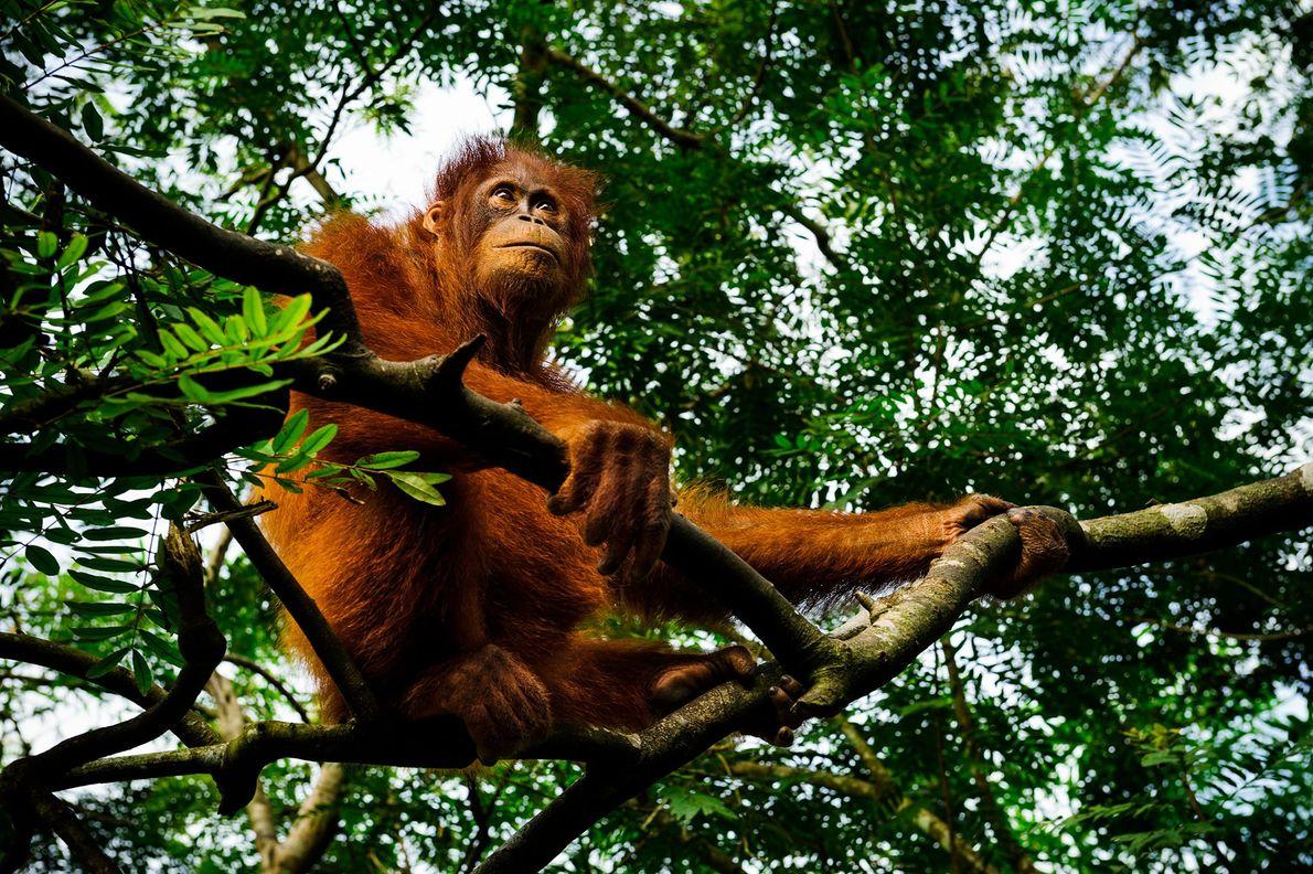 Un orang-outan se repose dans un arbre au Borneo Orangutan Rescue Center.  L'Union internationale pour ...