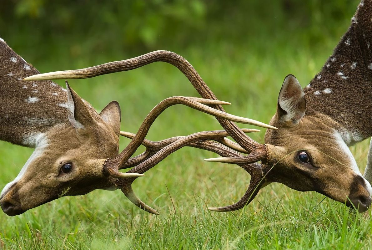 Deux cerfs axis bloquent leurs ramures à Karnataka en Inde.