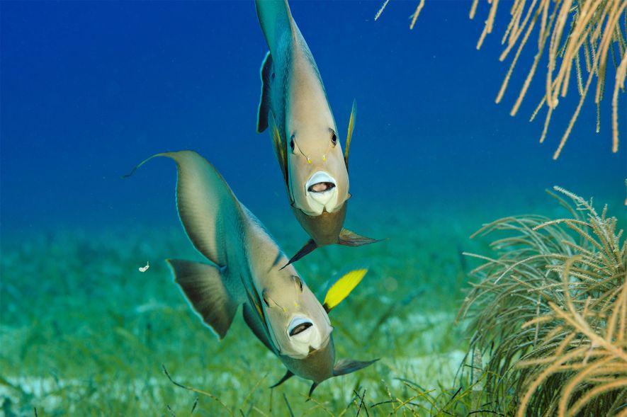 Des demoiselles blanches sont en quête de nourriture le long de l'atoll de Lighthouse Reef.