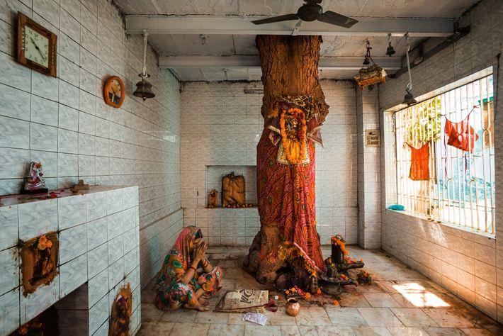 Au nord de l'Inde, le margousier est célèbre pour ses vertus qui guériraient tous les maux ...