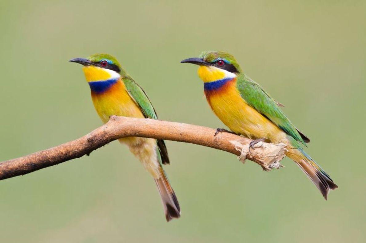 Deux guêpiers à collier bleu, en Ouganda.