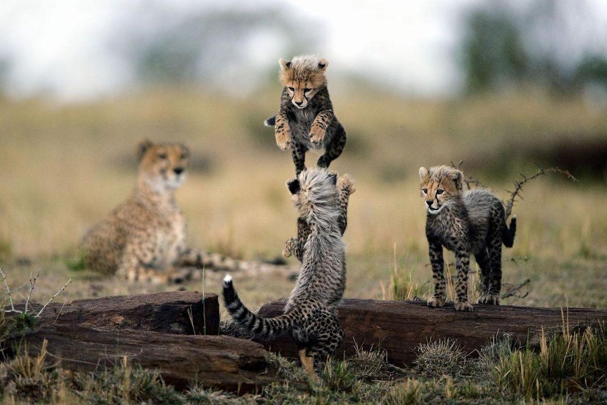 Trois bébés guépards jouent sous le regard attentif de leur mère.