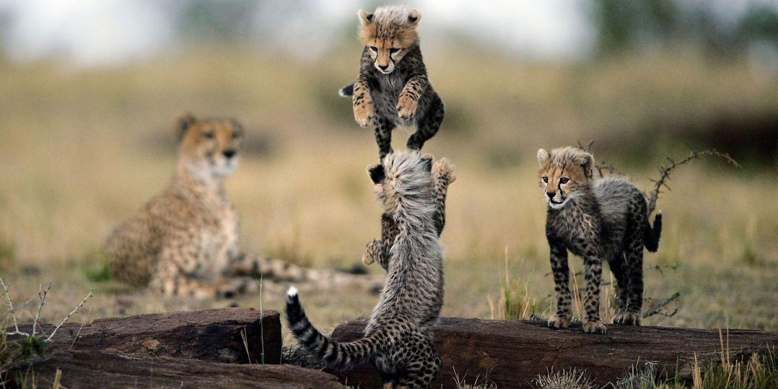 Nos plus belles photos de guépards