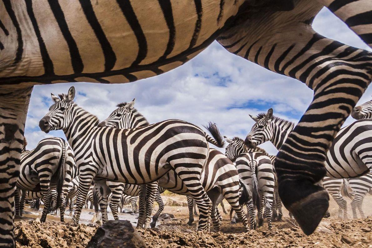 Un troupeau de zèbres.