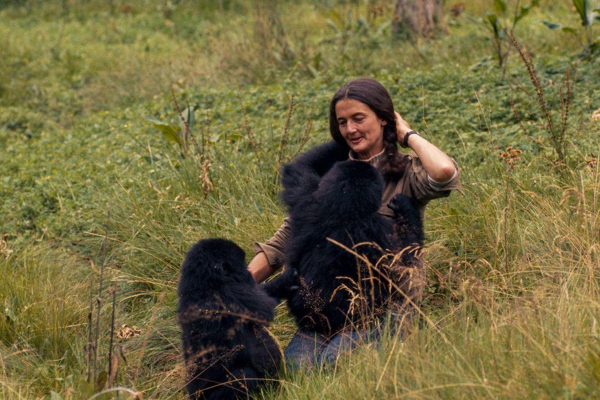 La scientifique joue avec Pucker Puss et Coco. 20 gorilles adultes de leur famille ont été ...