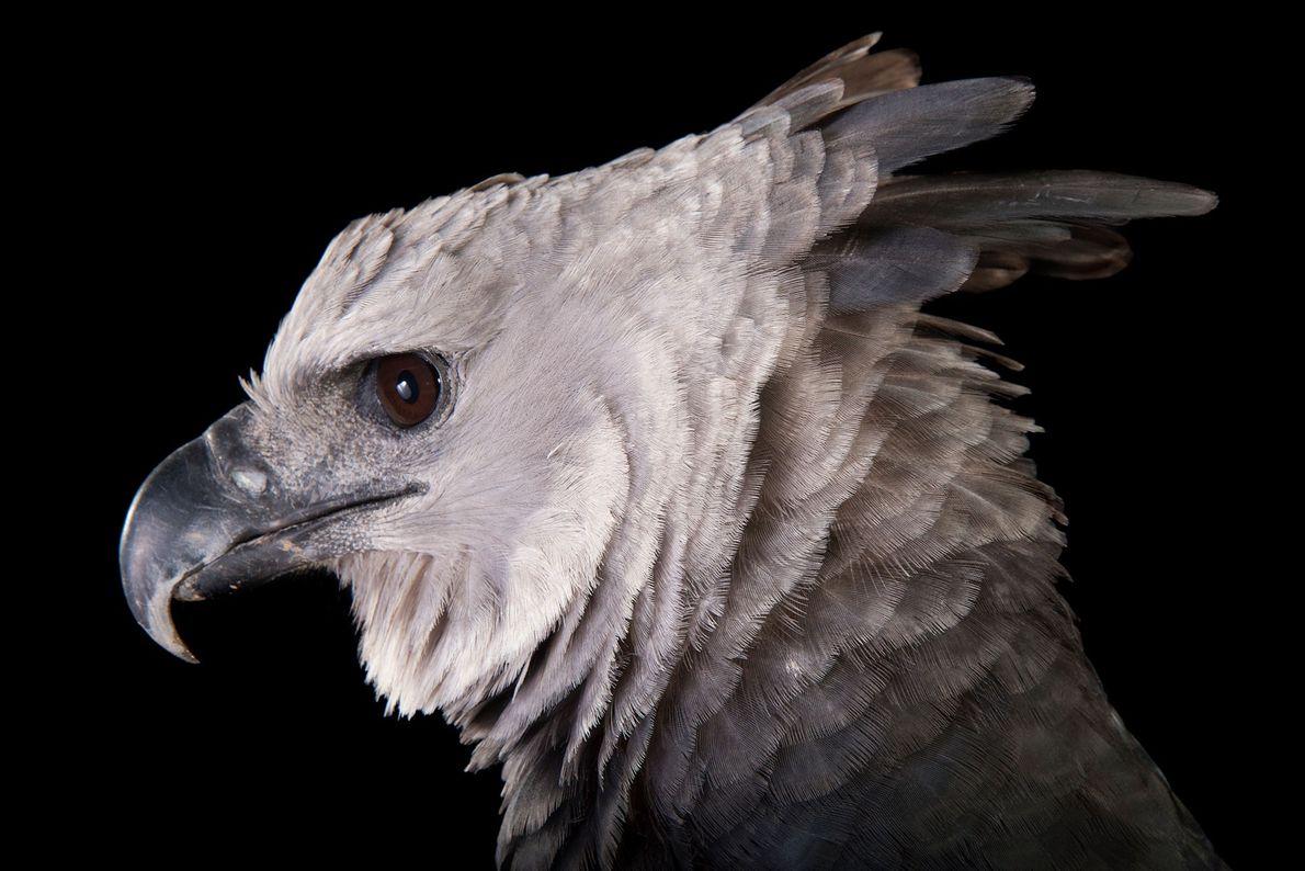 Une harpie féroce, Harpia harpyja, du zoo de Los Angeles. On retrouve cette espèce néotropicale d'aigle ...