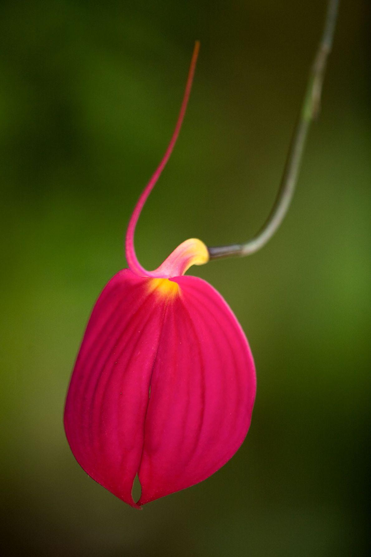 Les pétales couleur fuchsia de l'orchidée Masdevallia attirent les amateurs d'orchidées.