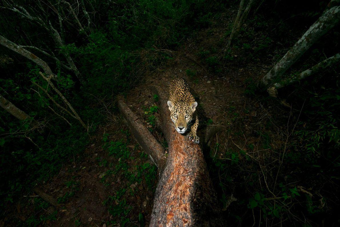 La photo prise par Alejandro Prieto d'un jaguar affûtant ses griffes dans l'ouest du Mexique a ...