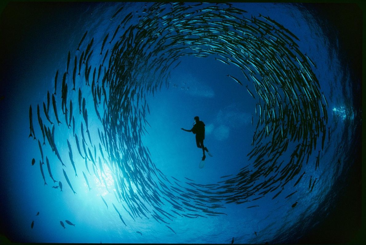 Dans la mer de Bismarck, en Papouasie-Nouvelle-Guinée, un banc de barracudas encercle un plongeur.