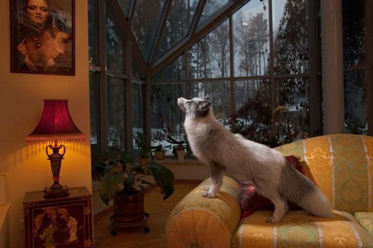 À Saint-Pétersbourg, en Russie, un renard domestique est juché sur le canapé de ses riches propriétaires.
