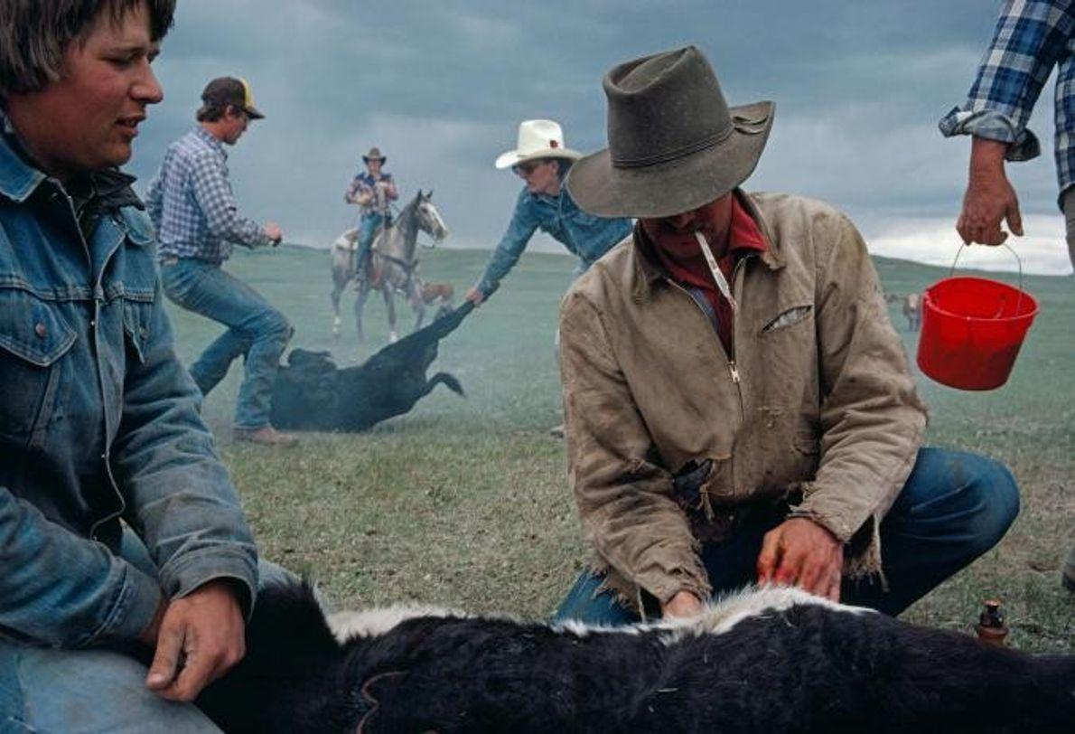 À Utica, dans le Montana, c'est la saison du marquage et des castrations au ranch Ken ...