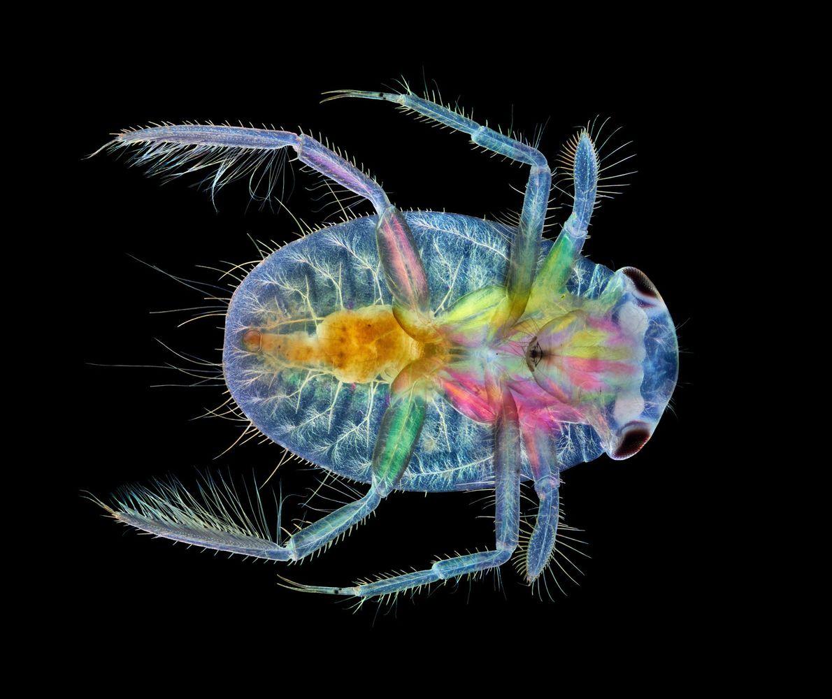 Pour créer ce collage luminescent d'une cigale d'eau en pleine croissance, un insecte aquatique peuplant le ...