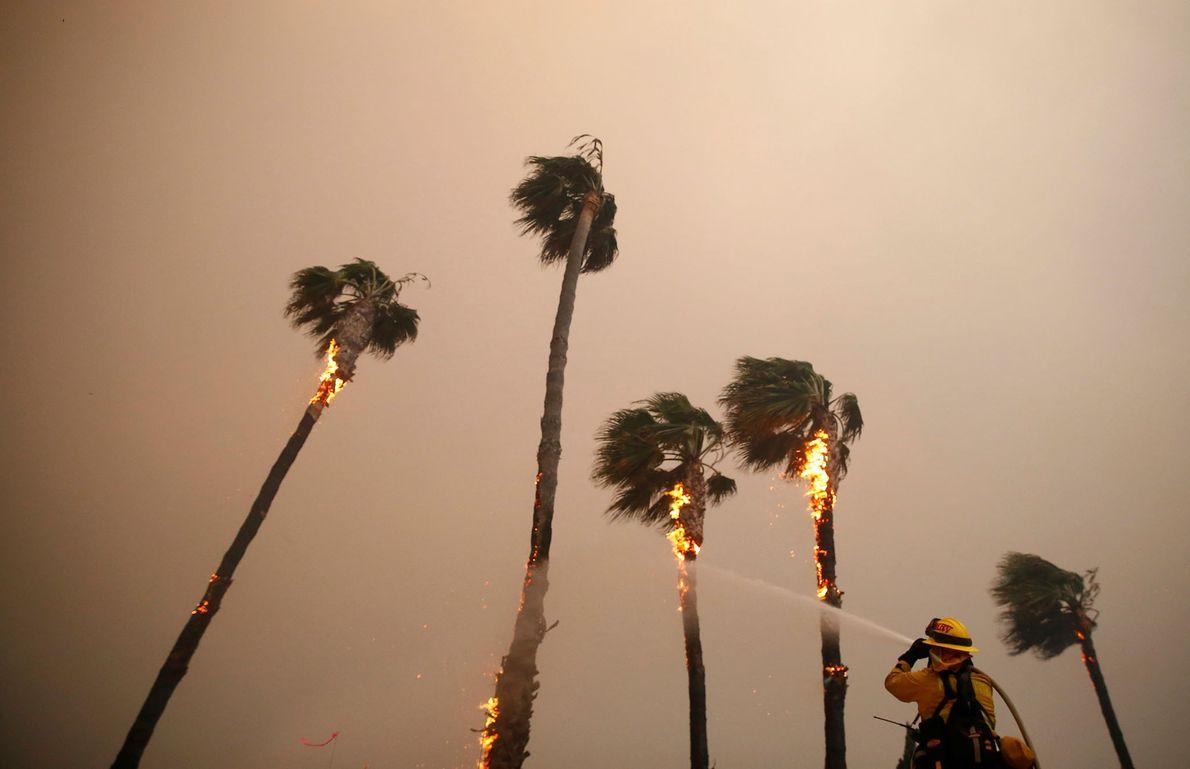 Un pompier arrose des palmiers brûlés par l'incendie Woolsey à Malibu le 9 novembre.