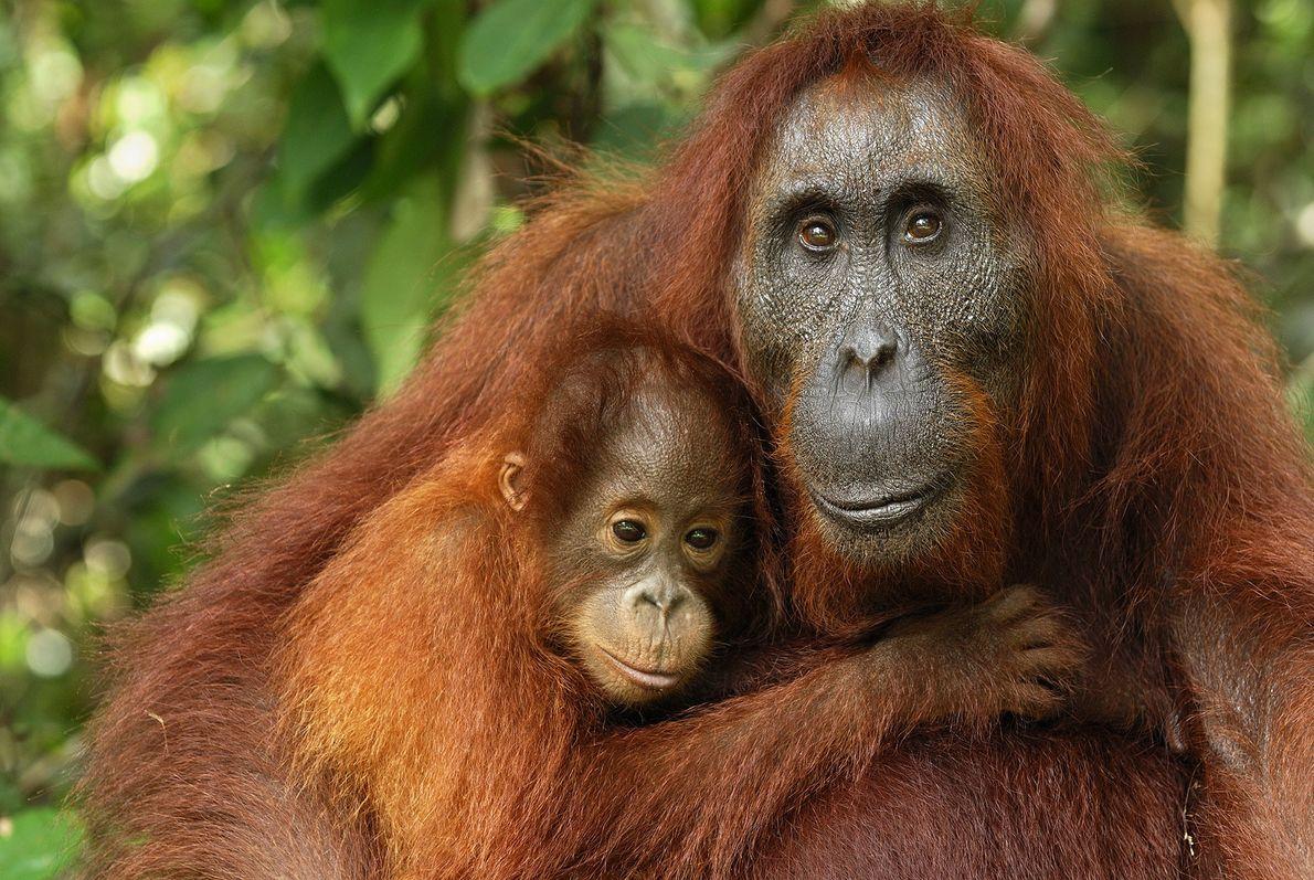 Une mère et son bébé s'étreignent au Camp Leakey. Créatures dotées d'une intelligence très élevée, les ...