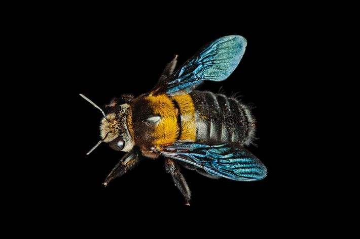 Abeille charpentière (XylocoPa sp.)