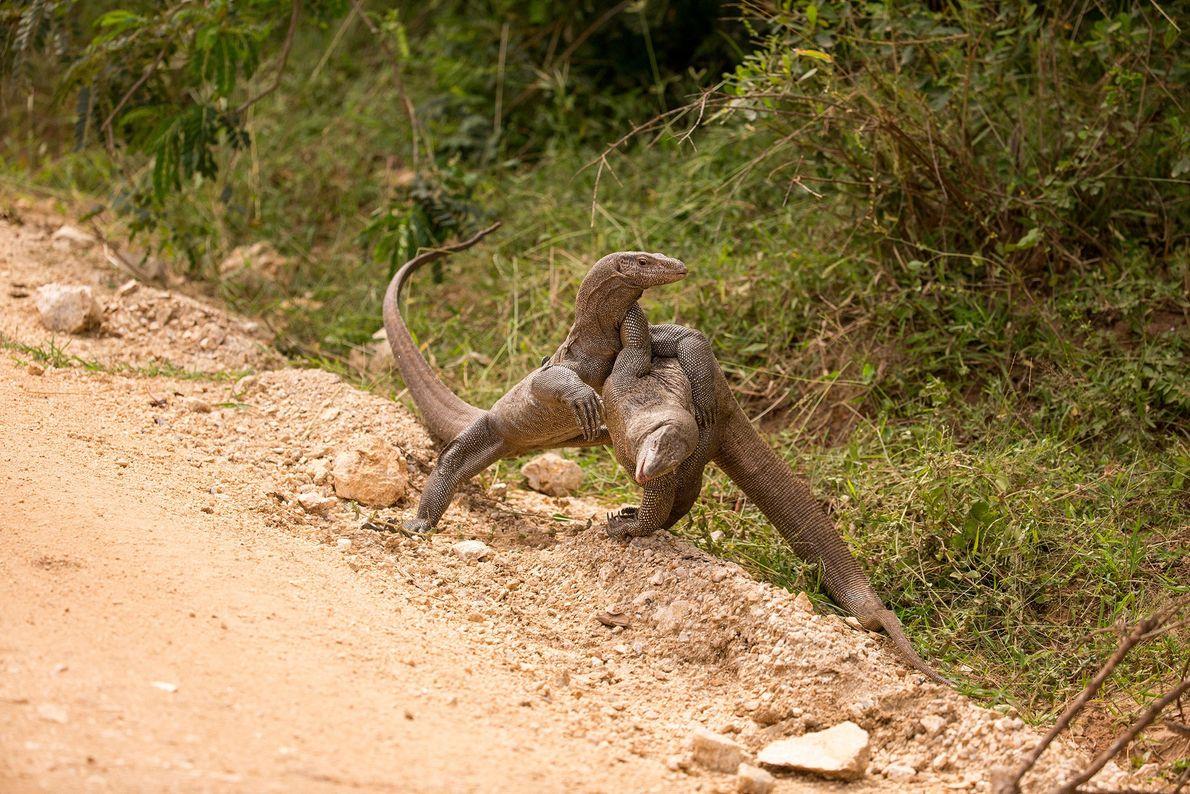 Deux varans en viennent aux mains au Sri Lanka.