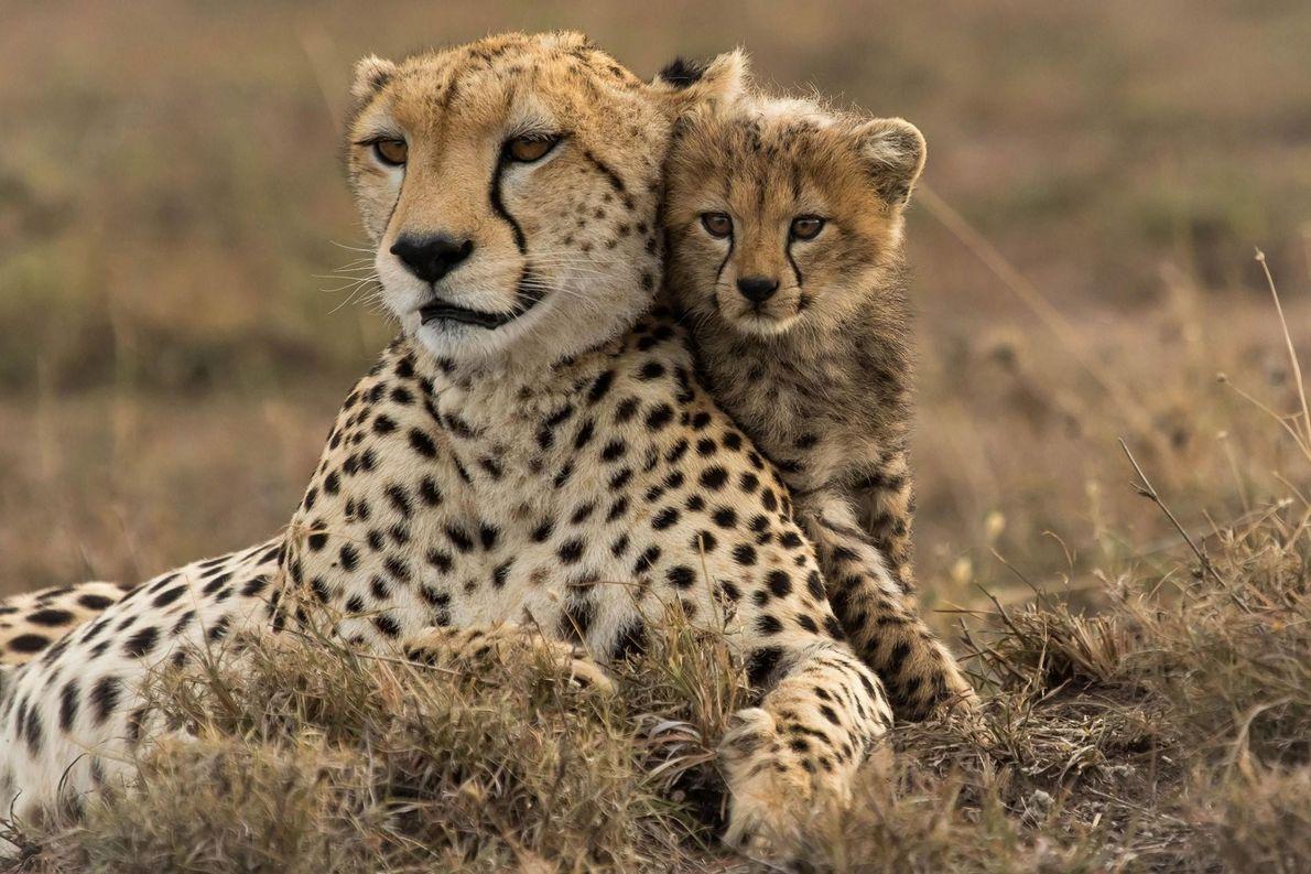 Après qu'un de ses frères a été tué par un lion, un jeune guépard se blottit ...