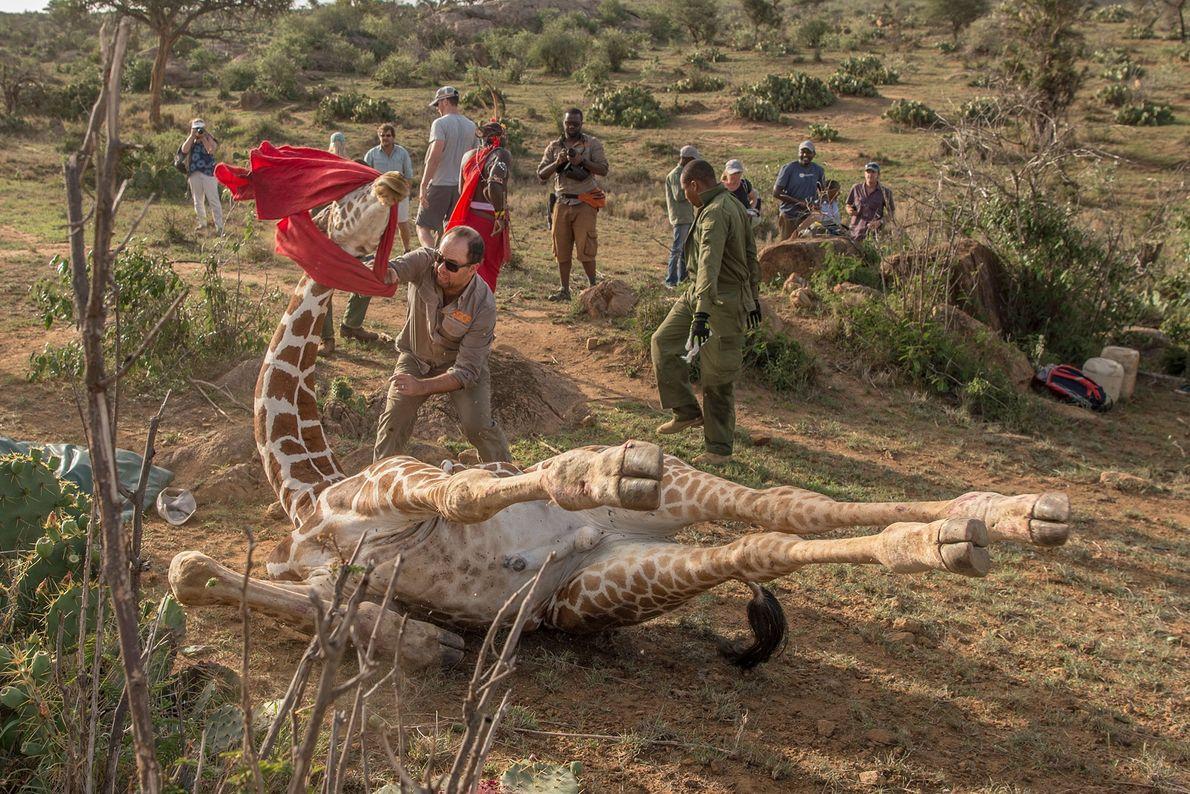 Dans le refuge dédié aux espèces sauvages de Loisaba, au nord du Kenya, le docteur Julian ...
