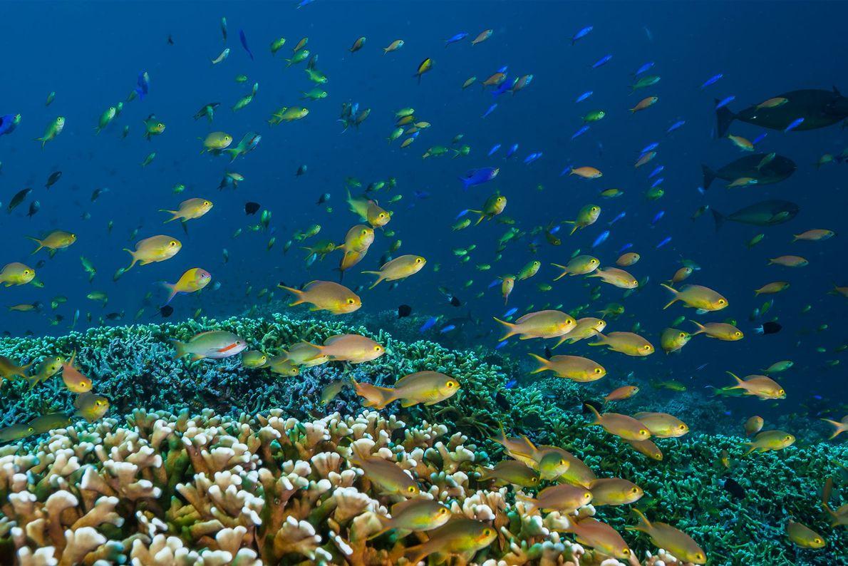 Des barbiers affluent en masse au-dessus d'une prairie de coraux. Le récif de Tubbataha a été ...