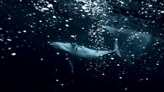 Un baleineau à bosse s'amuse sous la surface de l'océan aux îles Tonga. Michaela Skovranova photographie ...