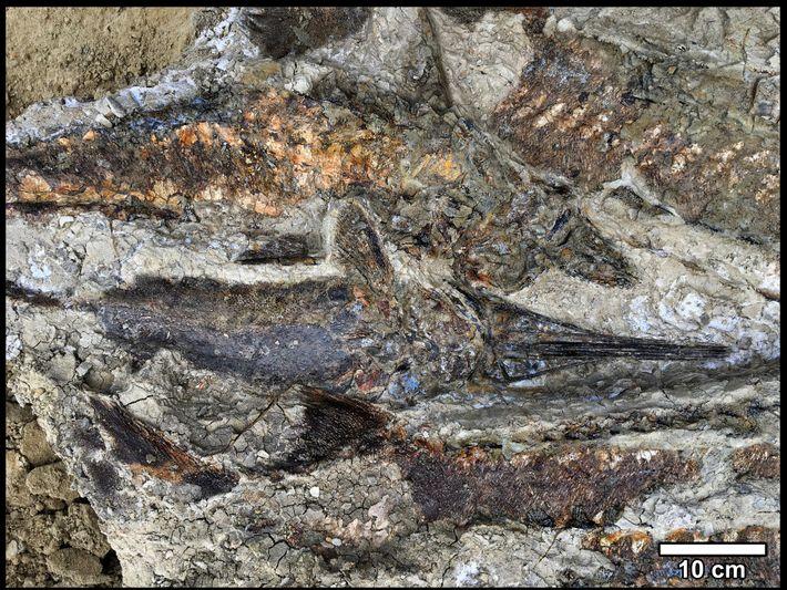 Le gisement de Tanis contient un amas très bien conservé de poissons enchevêtrés, même la forme ...