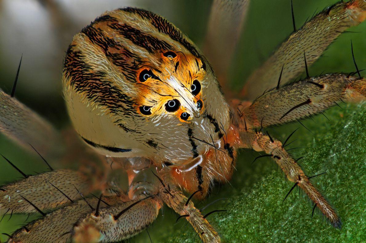 L'entomologiste français Antoine Franck a assemblé cette image d'une femelle araignée-lynx (Oxyopes dumonti). Pour chasser et ...