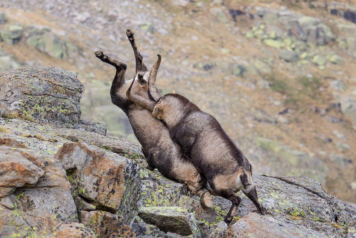 Accident de descente entre deux chèvres des montagnes à Sierra de Gredos en Espagne.