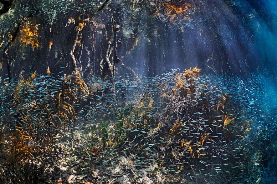 Des bancs de poissons déferlent dans les mangroves du Belize, où ils trouvent refuge et peuvent ...