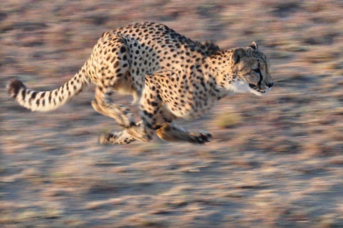 Un guépard bondit près du Zebula Bush Lodge dans le district de Mabula, en Afrique du ...
