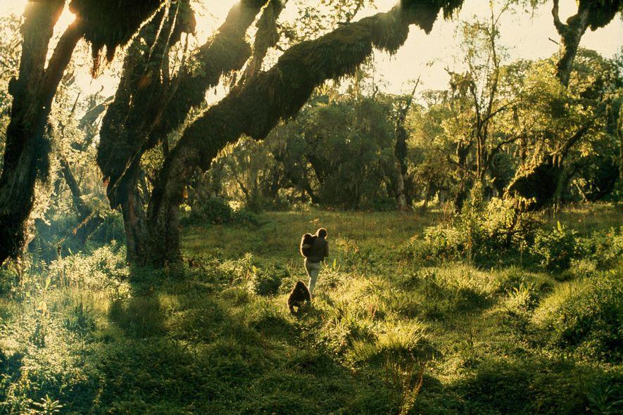 Dian Fossey parcourt la forêt du parc national des volcans en compagnie de deux gorilles. À ...