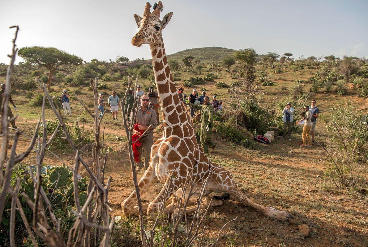 Le nombre de girafes varie mais il est essentiel pour leur survie de connaître quelles sont ...
