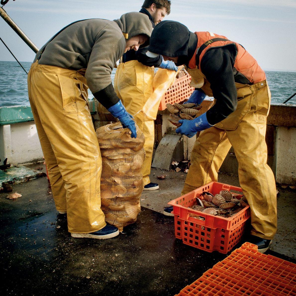 La pêche à la coquille Saint-Jacques