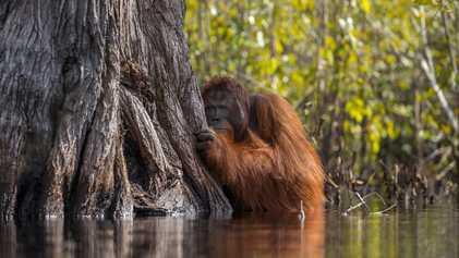 Indonésie : l'huile de palme condamne les orangs-outans à l'extinction