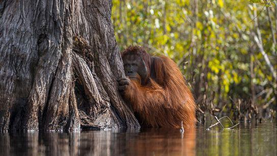 La culture de l'huile de palme à Bornéo, en Indonésie, menace cette espèce de grands singes, ...