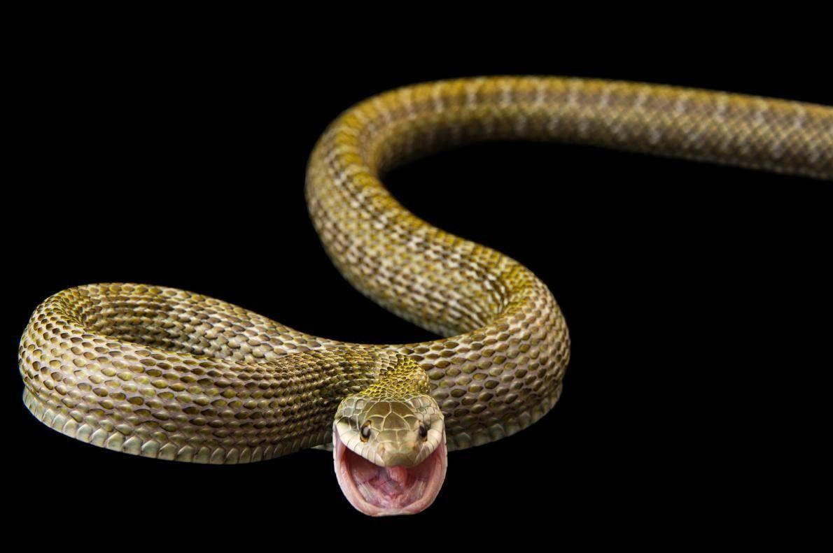 Un serpent rat japonais, Elaphe climacophora, à Pet Paradise.