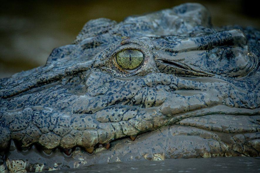 Un crocodile marin émerge des eaux, dans le nord de l'Australie.