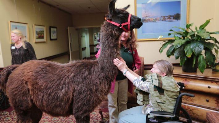 Des lamas apportent de la joie en maison de retraite