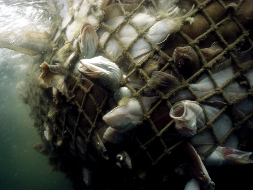 Du cabillaud et d'autres poissons de fond commerciaux sont pris dans un filet dans le golfe ...